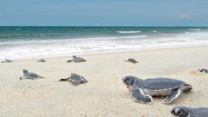 FLIGHT TO KUALA TERENGGANU - cherating turtle